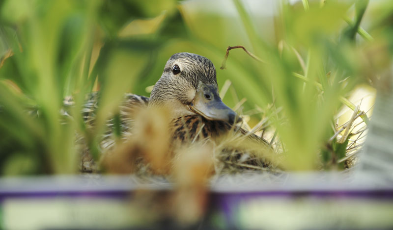 A mallard duck sits on her nest in the lawn and garden section of the Home Depot store in Bangor.