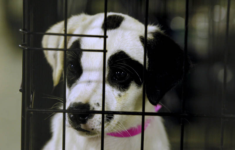 A puppy looks out of its cage at a shelter in Joplin, Mo. More than three weeks after an EF5 tornado ripped through Joplin, nearly 900 dogs and cats remain sheltered at the Humane Society, most of them unlikely to ever be reunited with their owners.