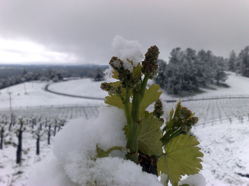 This May 15 photo provided by Holly's Hill Vineyard shows snow covering the vineyard near Placerville, Calif.