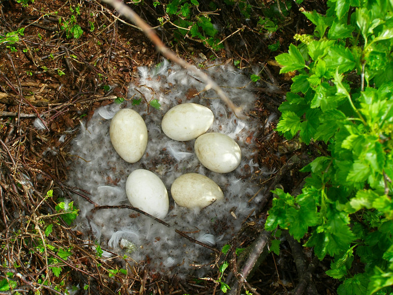 An eider's simple nest is lined with feathers that the mother plucks from her breast.