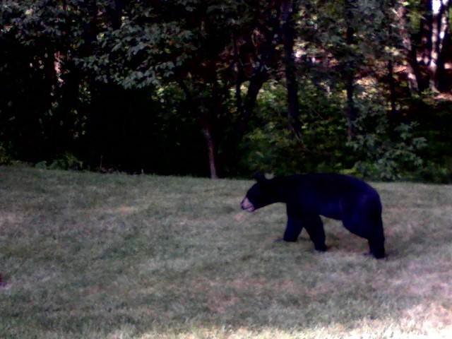 black bear spotted in falmouth neighborhood portland