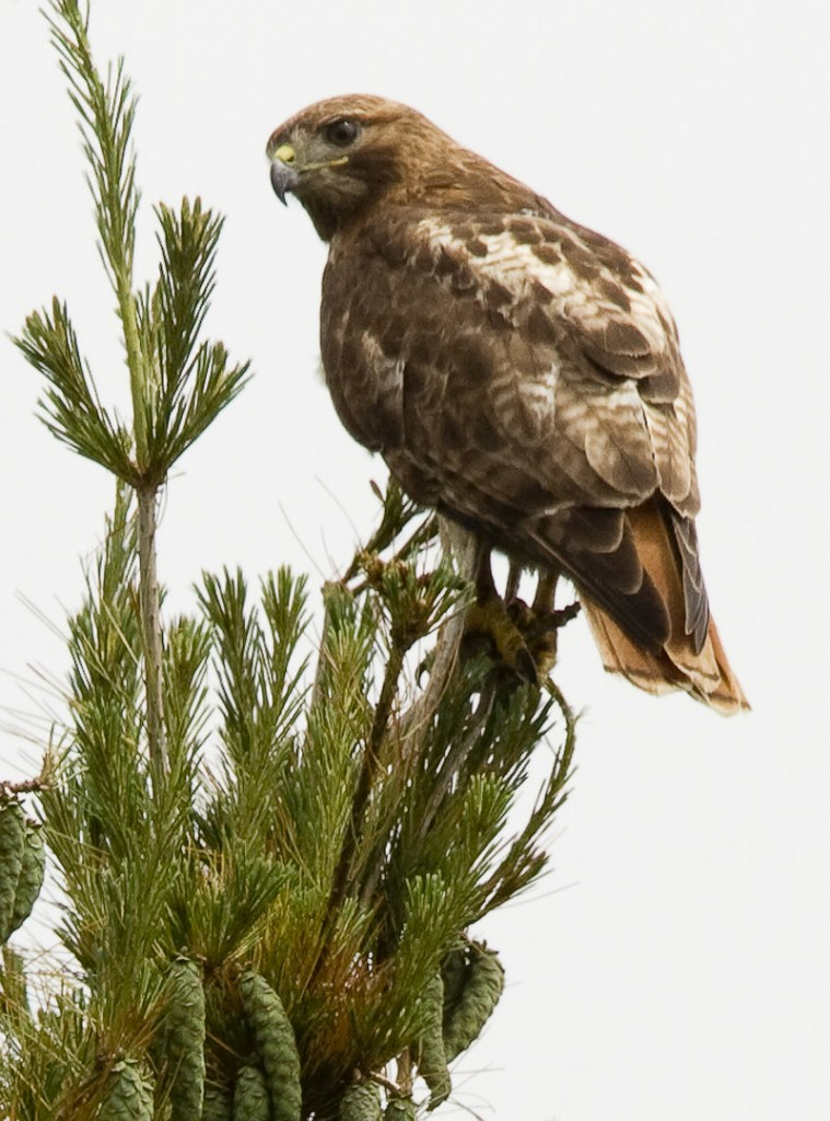 A northern harrier hawk, perched at Timber Point, shows the diversity of wildlife in the coastal area.