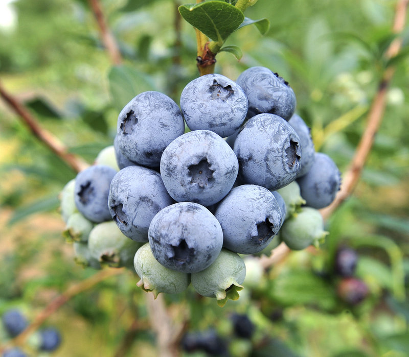 Growers report healthy highbush blueberry crops.