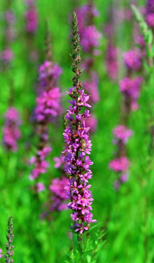 Non-native: Purple loosestrife