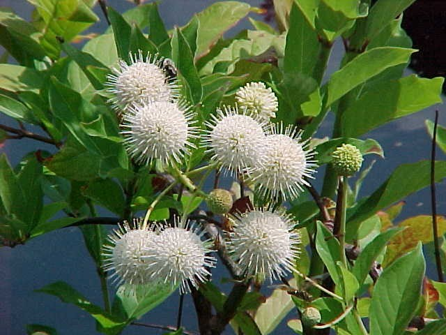 Native: Buttonbush