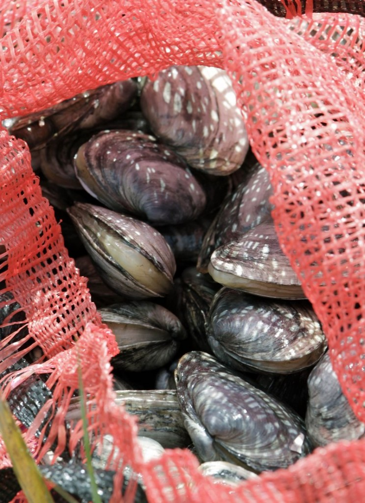 Freshly dug clams in Brunswick are about to be sent to the market on Wednesday. Maine and the rest of New England have had a second straight year of mild red tide outbreaks.