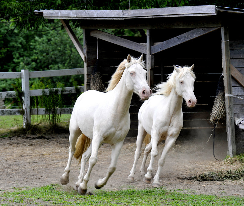 Two of the horses that will participate in