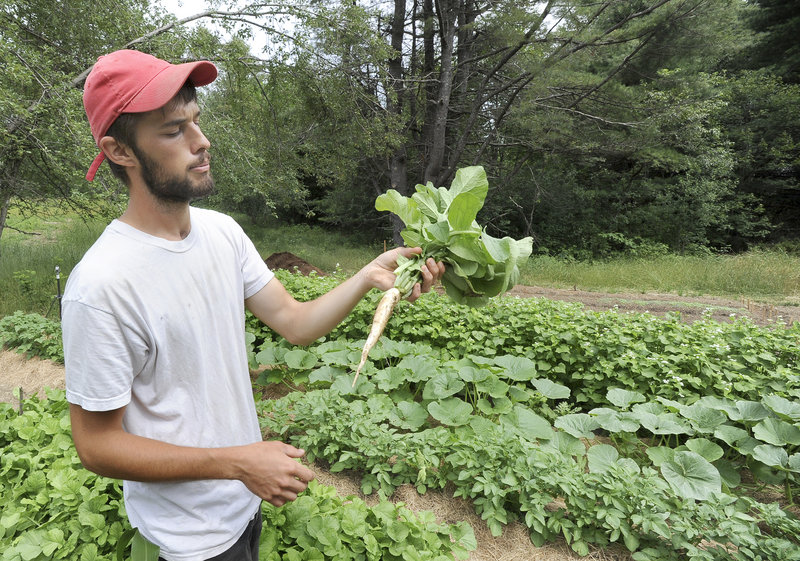 Miyake Farm manager Chad Conley inspects a daikon plant. Conley is experimenting with three different varieties of the Japanese radish this season.