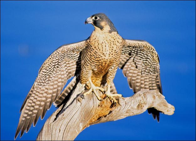 Meet a peregrine falcon and learn about these fast fliers at 5:30 p.m. Saturday when the Swan Island Wildlife Management Area in Richmond hosts Larry Barnes, a licensed falconer. Ferries leave the Richmond riverfront for Swan Island at 9 a.m., 1 p.m., 3 p.m. and 4:30 p.m. on Saturday, by reservation only, giving visitors time to explore the island before Barnes' presentation. The admission fee is $8. There's a returning ferry at 7 p.m. after the event. Please register for the peregrine program by calling 547-5322. For more information about Swan Island, go online to www.maine.gov/ifw/education/swanisland.