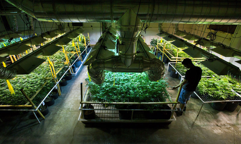 Ryan Milligan tends to the plants he grows at the Greenwerkz facility for sale to medical marijuana dispensaries in Denver.