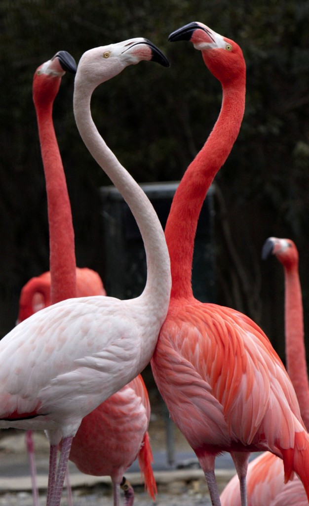 """Two American flamingos spar during a courtship display at the National Zoo in Washington, D.C. Officials say the zoo's flock of 64 flamingos seemed to sense Tuesday's quake in advance, clustering nervously before the ground shook. """"Animals seem to know,"""" says primate keeper K.C. Braesch."""