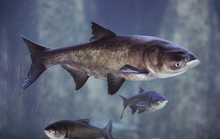 Asian bighead carp at Chicago's Shedd Aquarium. The Illinois Department of Natural Resources has launched a campaign to change the fish's image and teach people how to cook and eat them.