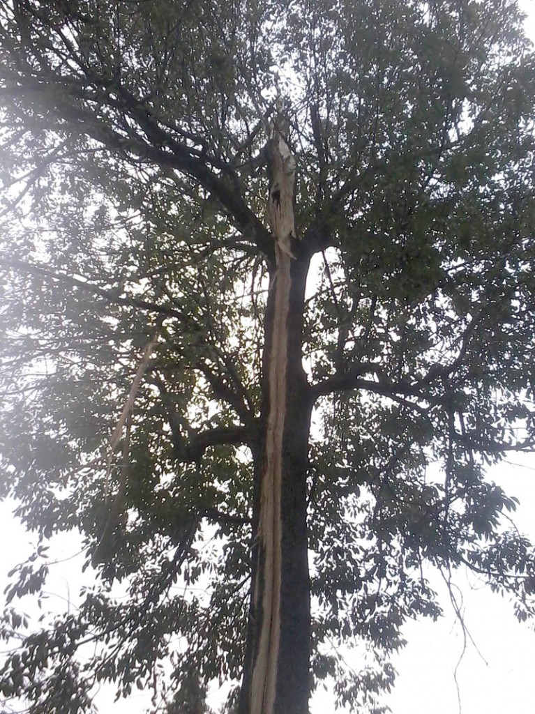 Contributed photo Tammy Gagnon said a lightning strike around 12:30 p.m. knocked a strip of wood out of one of her backyard trees on Sadler Drive in Sidney. She said nothing else was damaged from the strike.