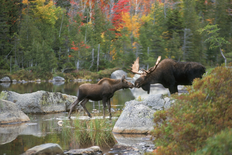"""Kissing Moose"" by Mark Picard"