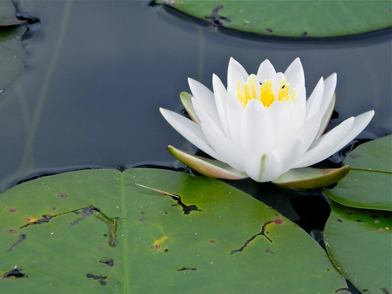 A fragrant waterlily is among acres of water plants in the northern part of the pond.