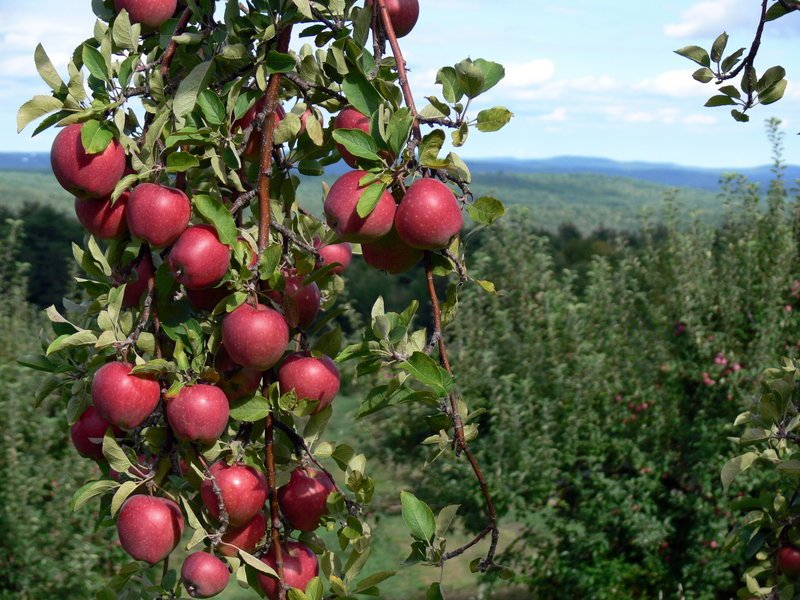 Local orchards report this year's crop to be a good one. Recent storms have had minimal effects.