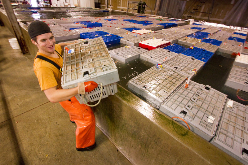 Ready Seafood employee Derek Pelletier carries a crate of lobster from the large pool at the company's Maine State Pier facility in Portland.