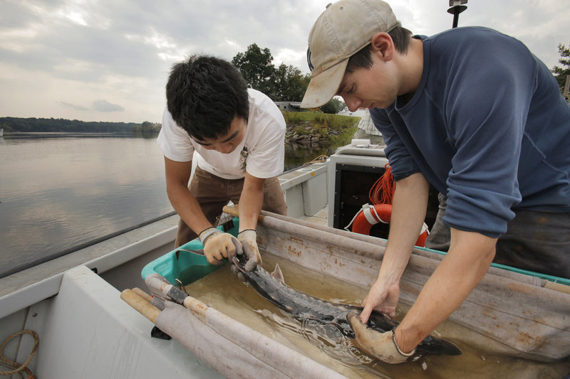 Matt Altenritter, left, and Kevin Lachapelle tag a sturgeon that they netted in the Penobscot River in Hampden on Wednesday. The two are graduate students at the University of Maine, and their research will be used by the Penobscot River Restoration Trust.
