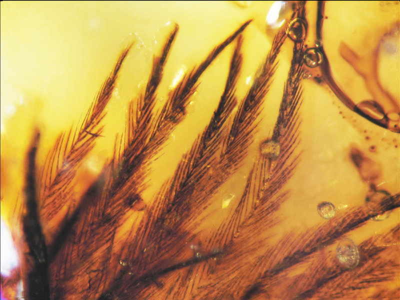 Photo shows an overview of 16 clumped feather barbs in a Canadian Late Cretaceous amber specimen.