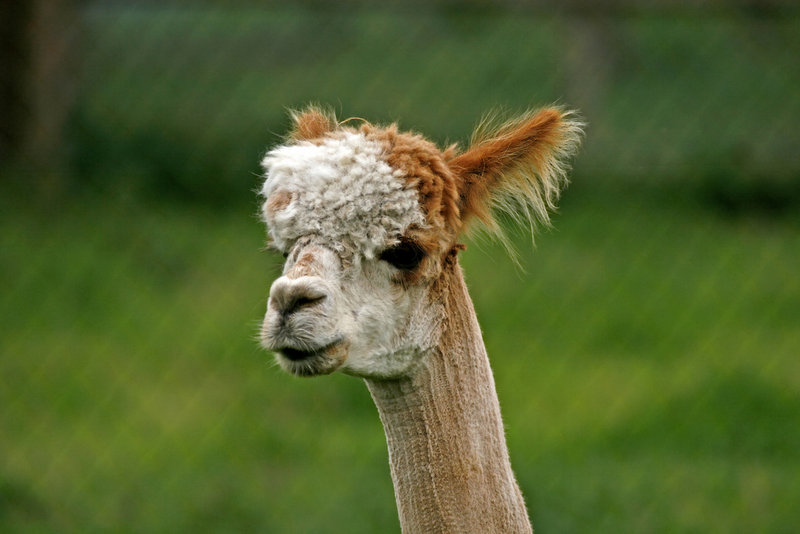 Meet alpacas Saturday and Sunday at Longwoods Alpaca Farm in Cumberland, part of Open Farm Weekend.