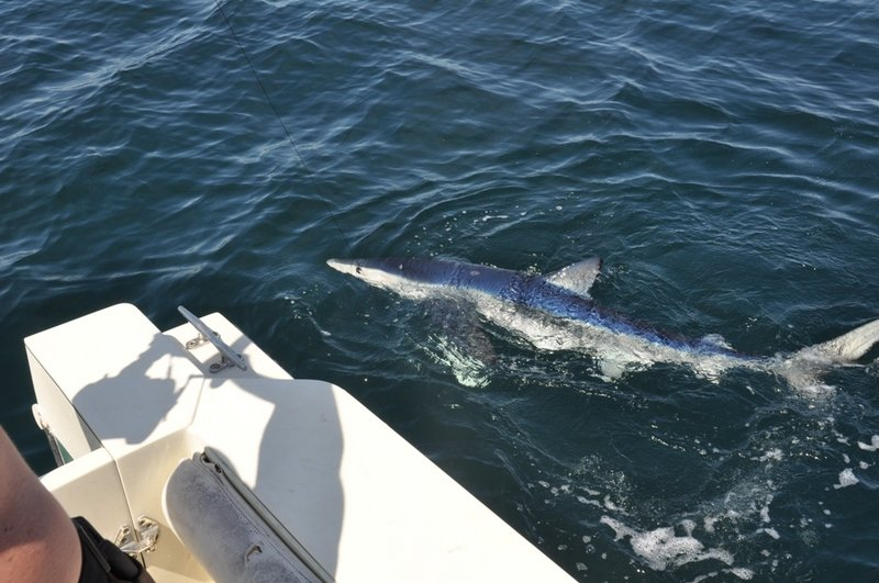 A blue shark approaches a fishing boat in the Gulf of Maine. Fall is a great time for anglers to find several types of sharks feeding in coastal waters.