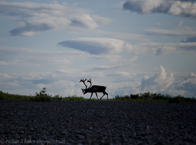 """A caribou grazes on the Brooks Range in northwestern Alaska. Filmmaker and ardent canoeist Richard Kahn will share his photographs and observations in """"Travels by Canoe in Alaska's Western Arctic,"""" a Sierra Club presentation, at 7 p.m. Friday at the Kennebunk Unitarian Universalist Church at 114 Main St., Kennebunk."""