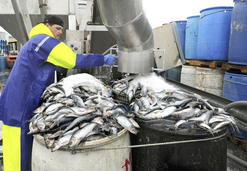 Mike Randall unloads and salts herring into barrels Thursday at Dropping Springs Bait Co. on the Portland Fish Pier. As the lobster season shifts into high gear, ensuring a good supply of herring for bait is vital, said Jeff Legere, operations manager at the bait company.