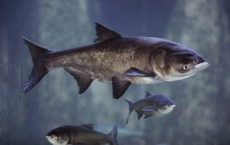 Asian bighead carp swim in an exhibit at Chicago's Shedd Aquarium. Illinois officials say using the invasive fish as food would reduce its threat to native Great Lakes species and meet the needs of record numbers of people facing hunger.