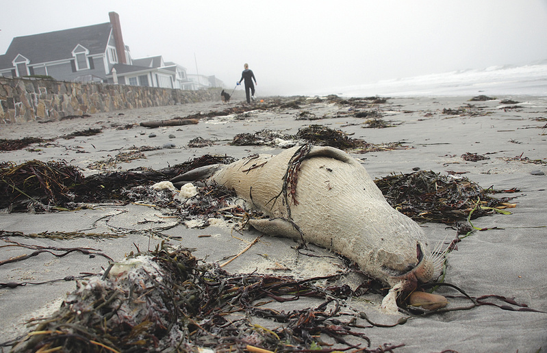 A seal carcass lies on the sand Sept. 29 at Jenness State Beach in Rye, N.H. Since early September, 94 dead harbor seals have been found from Maine to northern Massachusetts.