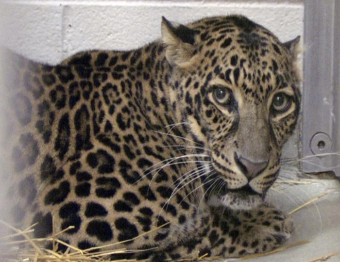 This photo provided by the Columbus Zoo and Aquarium shows one of three leopards that were captured by authorities on Wednesday.