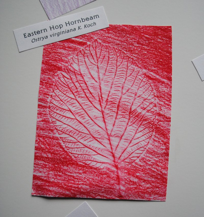Crayon rubbings of leaves, like this one of a hornbeam leaf, can be part of a tree identification project.
