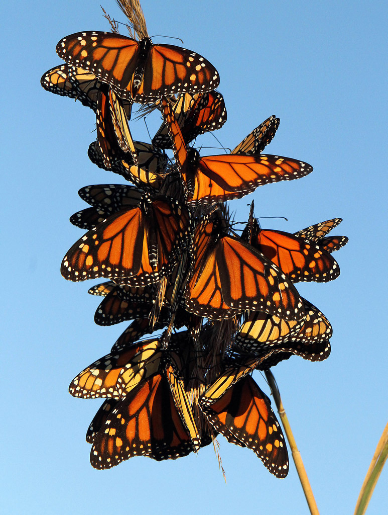A group of monarch butterflies is seen along their migratory route at Stone Harbor Point, N.J.