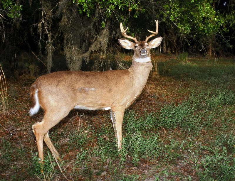 The Florida wildlife department uses this robotic deer to catch poachers.