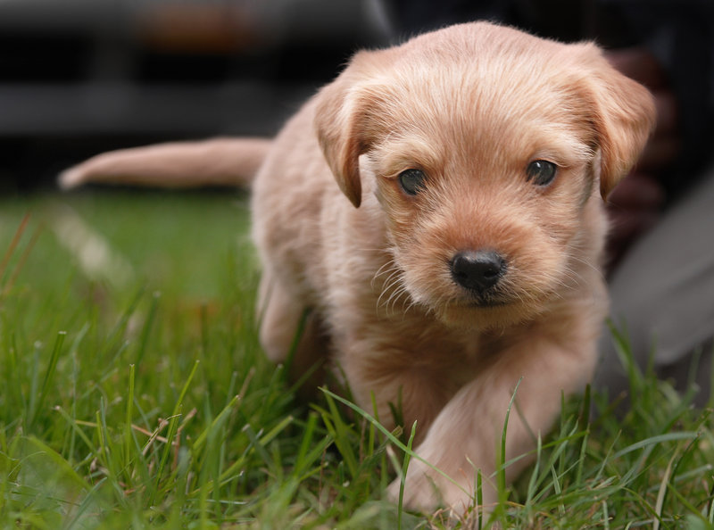 "Four-week-old Puck, named after the mischievous sprite in the play ""A Midsummer Night's Dream,"" may be a terrier mix. The refuge league hopes his siblings will be brought in for checkups."
