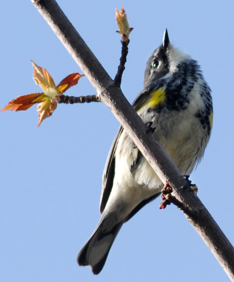 In addition to common warblers like this one, some unusual and exciting species have been spotted in Maine this fall.