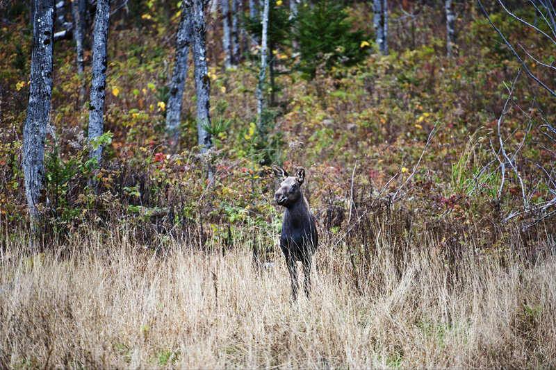 A Maine club's food plot is visited by a cow moose. Although the plots, which are rich in protein from clover and oats, are intended primarily to aid whitetail deer, they also benefit moose, turkey, bear and some 50 species of songbirds, studies show.