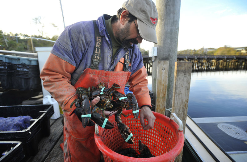 Lobsterman Mike Theiler pulls lobsters out of a basket in New London, Conn. Only about 30 full-time lobstermen are left in Connecticut.