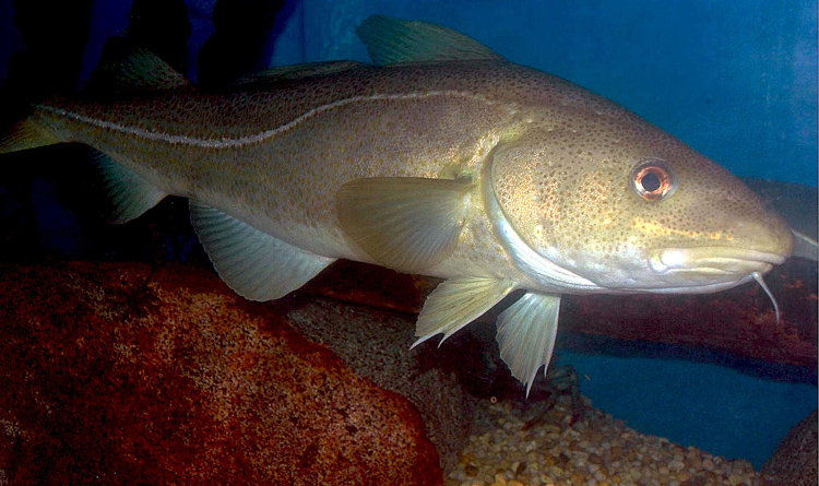 Researchers now say cod has had weak reproduction and an earlier report may have included some bad projections.
