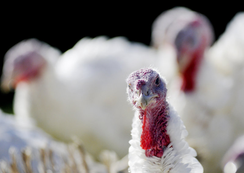 Whispering Winds Farm in Mechanic Falls is sold out of its organic, free-range turkeys for this year, and has a waiting list for next.