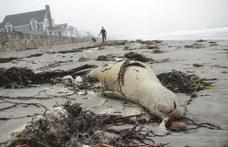 "A seal carcass lies on Jenness State Beach in Rye, N.H., in late September. Federal officials say the deaths of 146 harbor seals along the New England coast have now been declared an ""unusual mortality event,"" a move that enables officials to pour more resources into investigating what killed them."