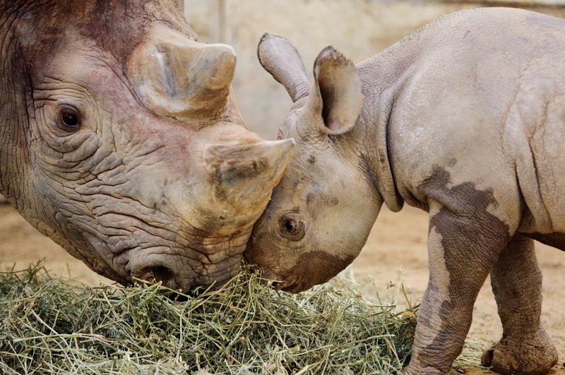 A black rhinoceros at the Cleveland Metroparks Zoo nuzzles her offspring in 2010. Several subspecies of rhino are extinct or nearly so, a conservation group says.