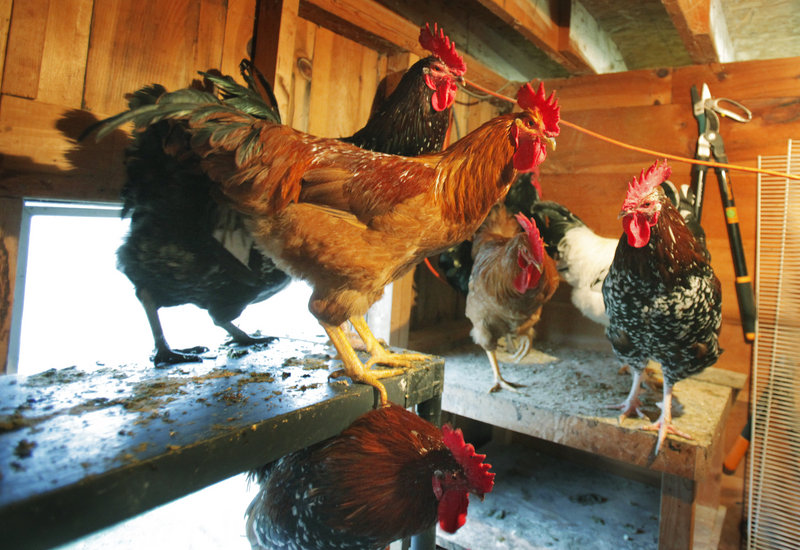 Julie Sutherland's roosters have been staying inside the barn for now since a wild dog has killed about half the flock on Ledge Hill Road in Raymond.