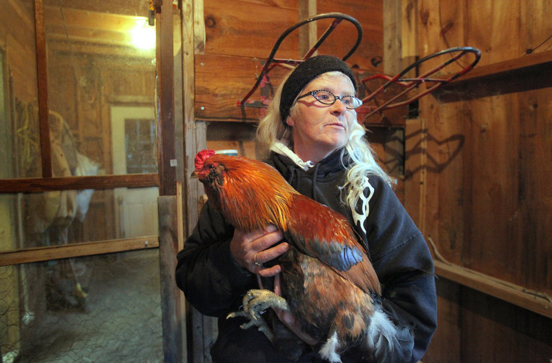 Julie Sutherland holds one of her 13 roosters – all she has left of the 25 she adopted in June –  inside the barn at her home on Ledge Hill Road in Raymond this week. A neighbor has complained about the crowing, so the town, like others in southern Maine, is considering a change to municipal noise ordinances that would fine owners who fail to keep their animals quiet.