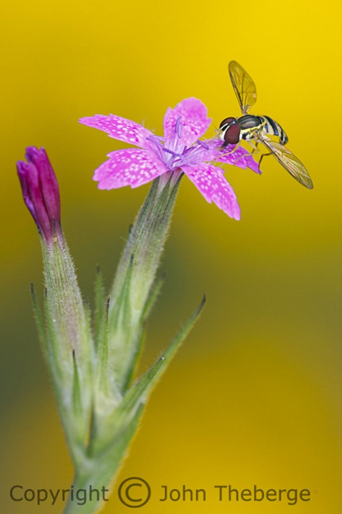 "John Theberge won first place in the ""other wildlife"" amateur category for his macro photo of this Deptford Pink with a hoverfly on it."
