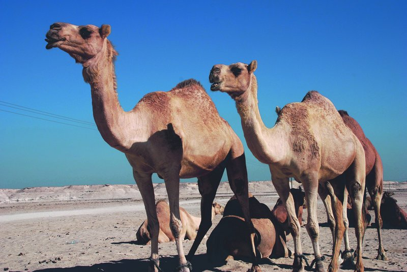 Ultra-modern Saudi Arabia is today relying on imported camels, which is putting a strain on herds worldwide. And in famine-ravaged Somalia, tribesmen report a mass die-off of camels.