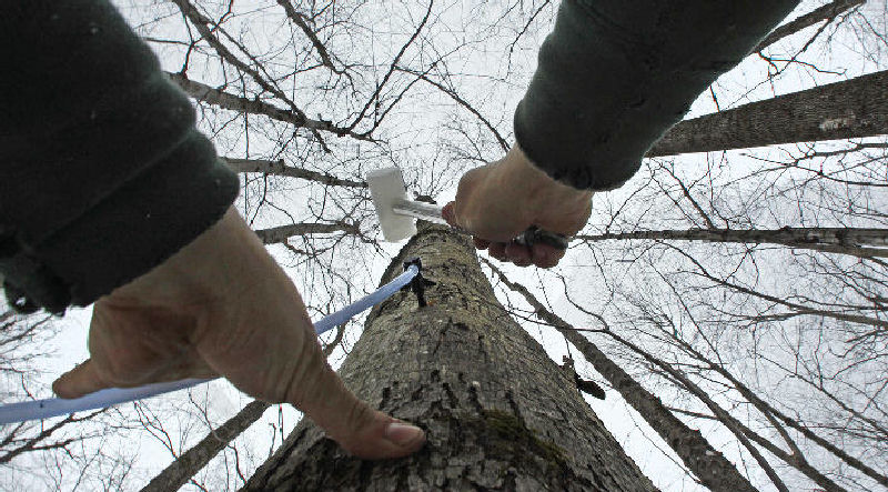 Ben Fisk hammers a tap and collection tube into the trunk of a maple tree at a timber stand in Newbury, N.H. An unusually mild winter across much of the Northeast has cut short maple-surgaring season.