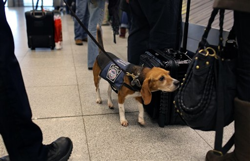 In this Feb. 9, 2012 photo, Izzy, an agricultural detector beagle whose nose is highly sensitive to food odors, sniffs incoming baggage and passengers at John F. Kennedy Airport's Terminal 4 in New York. This U.S. Customs and Border Protection team works to find foods and plants brought in by visitors that are considered invasive species or banned products, some containing insects or larvae know to be harmful to U.S. agriculture. (AP Photo/Craig Ruttle)