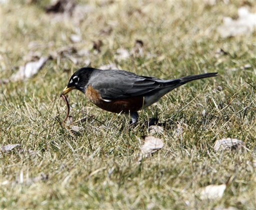A robin snatches a worm from the ground on the first day of spring in Phippsburg. Spring officially arrived just past midnight and the sighting of a robin is popularly regarded as the best sign of spring's arrival in the Northeast, according to the National Audubon Society.