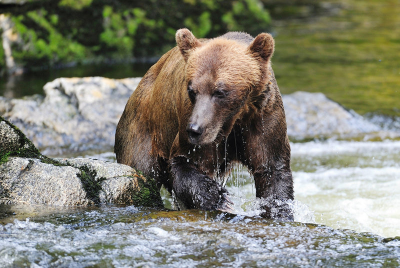 Experts say prevention is the best way to avoid a bear attack. Among the strategies: hike in groups, make noise and avoid areas of poor visibility.
