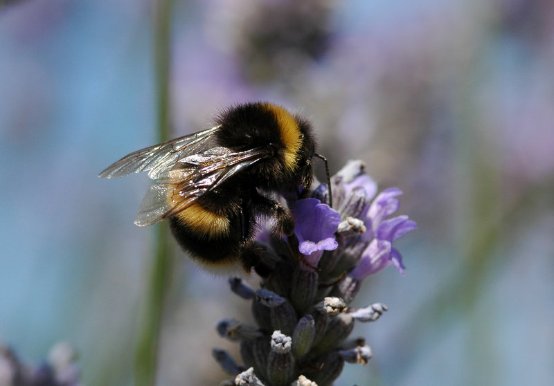 A bumblebee appears in a photo provided by David Goulson of the University of Stirling in Scotland. A pesticide appears to cause problems for both honeybees and bumblebees.